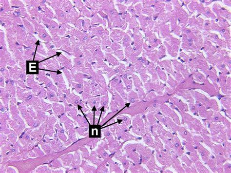 cardiac muscle cross section microscopic study of cardiac muscle cross 40x