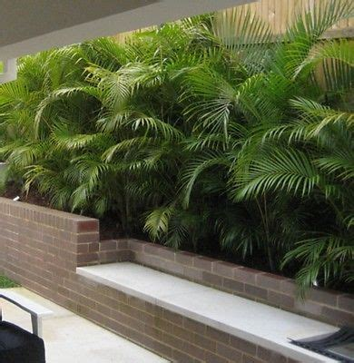 golden cane palm dypsis lutescens chrysalidocarpus plant