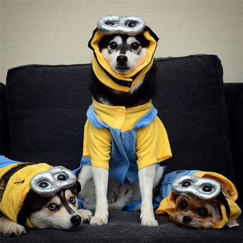minion costumes for dogs minion costume with same day shipping baxterboo