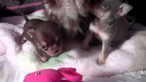 blue applehead chihuahua puppies for sale blue chihuahua puppies for sale applehead chocolate babies and cobby