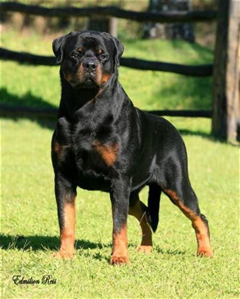 what to look for when buying a rottweiler puppy best 20 german rottweiler ideas on rottweiler puppies for sale