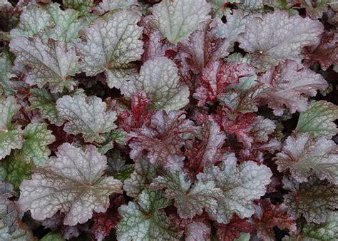 Pflanzen Für Steingärten 1025 heuchera hybride plum pudding purpurgl 246 ckchen