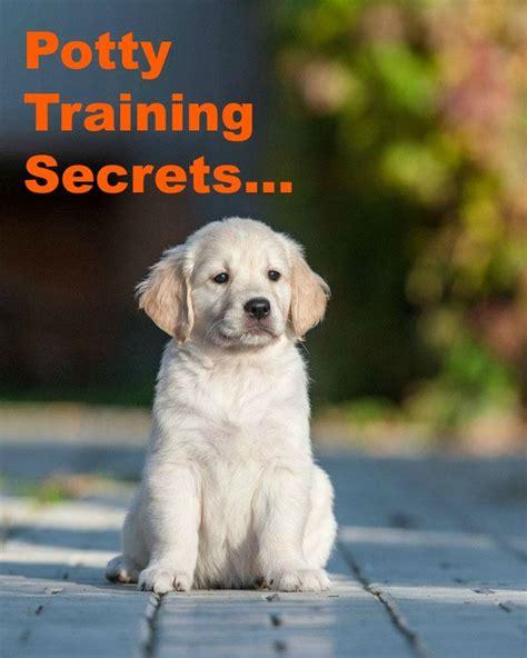 golden retriever exercise needs best 25 labrador names ideas on black