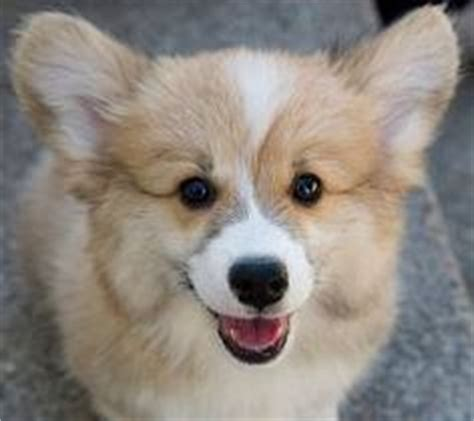 corgi pomeranian mix for sale dogd on corgis corgi puppies and pembroke corgi