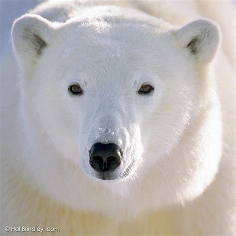 Bears White hal brindley wildlife photography 187 the great white