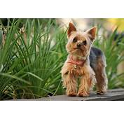 Yorkshire Terrier Wallpapers Free Download