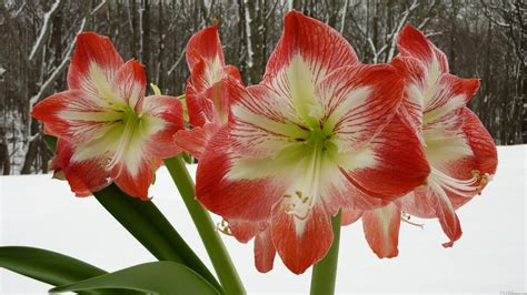 mlewallpapers com amaryllis in snow i