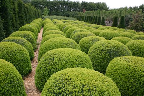 Evergreen Furniture by Buy Common Box Ball Buxus Sempervirens Delivery By Crocus