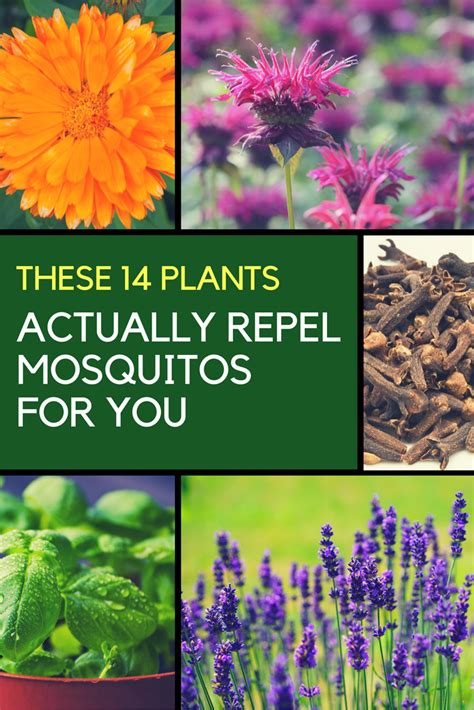 best plant for mosquito repellent mosquito repellent plants 14 plants that keep them away