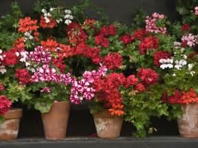 what is a geranium diy