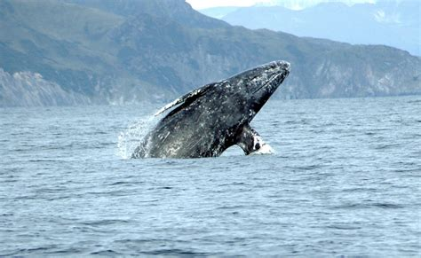 gray whale migration visit cayucos