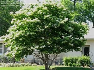 Lilac Tree Information Plantfiles Pictures Japanese Tree Lilac Syringa