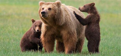 imagenes de la familia de osos oso caracter 237 sticas tipos de osos qu 233 comen d 243 nde