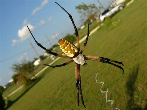 yellow garden spider facts identification pictures