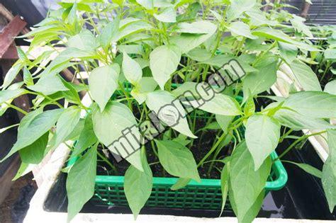 Bibit Bebek Peking Hari Ini 14 tahap cara semai benih bibit cabai hidroponik agar tumbuh subur
