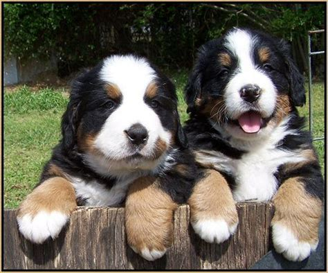 berner 100 ps bernese mountain dogs on mountain dogs
