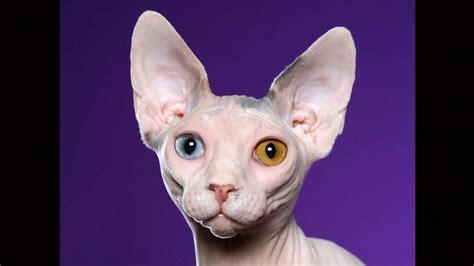Sphynx Cat Meme - sphynx cat fond d 233 cran and arri 232 re plan 1366x768 id