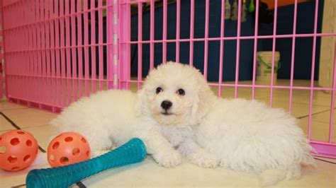 miniature bichon frise puppies for sale amazing bichon frise puppies for sale near atlanta at puppies for sale local breeders