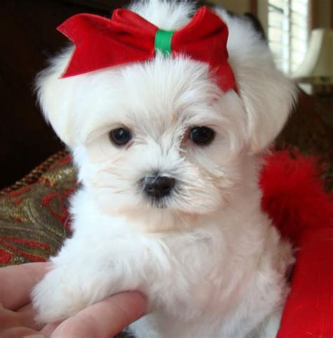 maltese puppies for sale in houston 80 best images about dogs that don t shed on poodles maltese puppies and