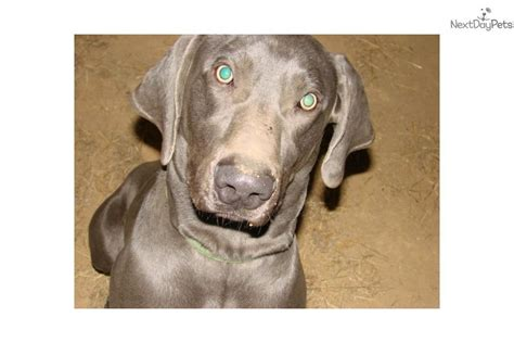 weimaraner puppies for sale near me weimaraner puppy for sale near bowling green kentucky 817a601d 6e41