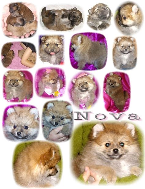 colors of pomeranians 25 best ideas about pomeranian colors on
