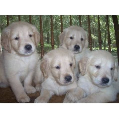 golden retriever puppies bradenton fl golden retriever breeders in florida freedoglistings