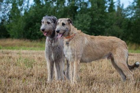 wolfhound puppy wolfhound dogs photo and wallpaper beautiful wolfhound dogs pictures