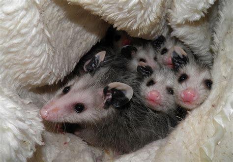 Geos My Baby Pouch Cross nc rescuer unaware of saving cross eyed possum heidi
