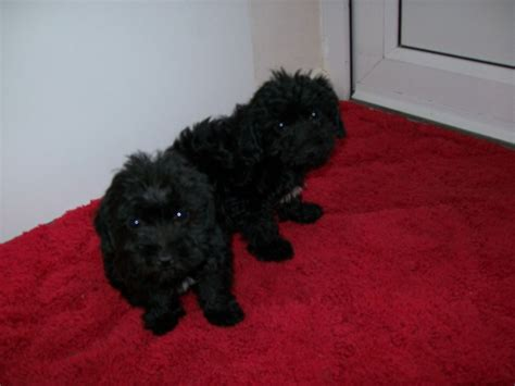 yorkie poodle cross 3 poodle cross yorkie pups for sale orpington kent pets4homes