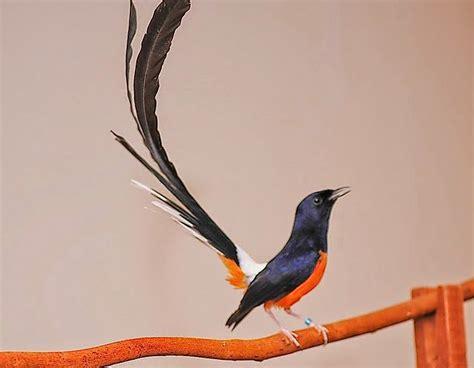 Burung Murai Batu Medan Rp 1 4jt foto burung murai batu terpopuler jenis burung kicau
