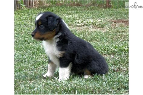 australian shepherd puppies for sale in oklahoma australian shepherd puppies for sale near oklahoma city breeds picture