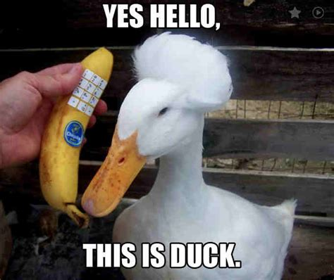 Duck Memes - 20 totally adorable duck memes you won t be able to resist
