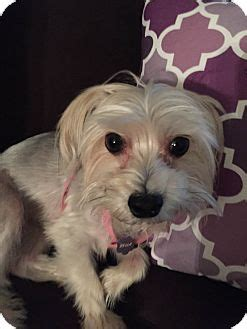 yorkie rescue fort myers adopted fort myers fl maltese yorkie terrier mix