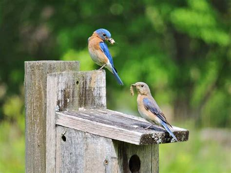 about bluebirds nysbs
