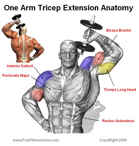 triceps diagram in the back of muscles diagram in free engine image for