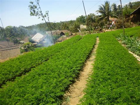 Jual Bibit Sengon Di Semarang klaten jual bibit pohon tanaman