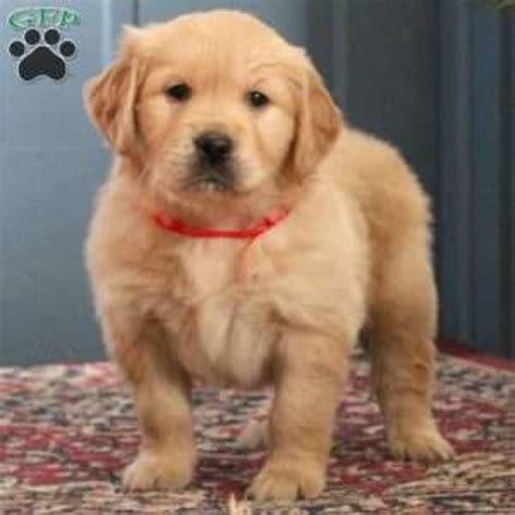 golden retriever litters for sale golden retriever purebred puppy litters for