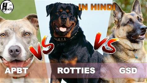 pitbull and rottweiler comparison rottweiler vs american pitbull terrier vs german shepherd comparison vs