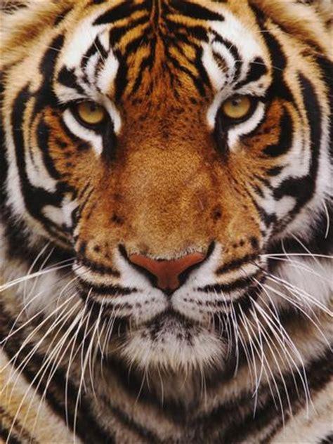printable tiger eyes bengal tiger face panthera tigris asia photographic