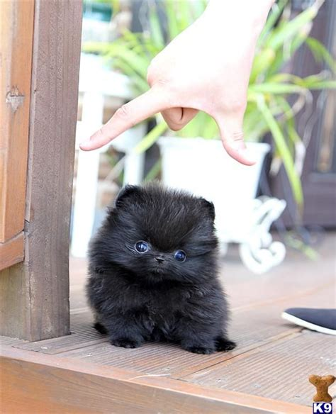baby teacup pomeranian puppies 25 best ideas about teacup pomeranian puppy on teacup dogs pomeranian
