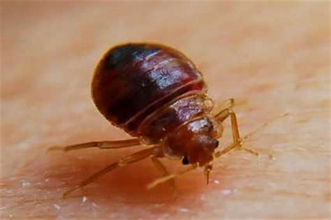what s good for bed bugs bed bug inspection removal stop bugging me pest control