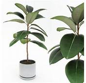 Ficus Elastica Decora Small 3D Model MAX OBJ 3DS FBX MTL