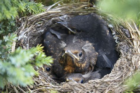 will birds really abandon their young if humans disturb