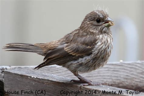 fledgling house finch house finch