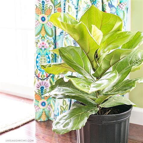 fiddle leaf fig tree tips for care live laugh rowe
