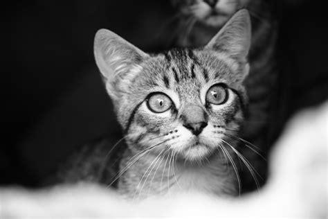 imagenes en blanco y negro gatitos imagen de gatito en blanco y negro para fondo de pantalla