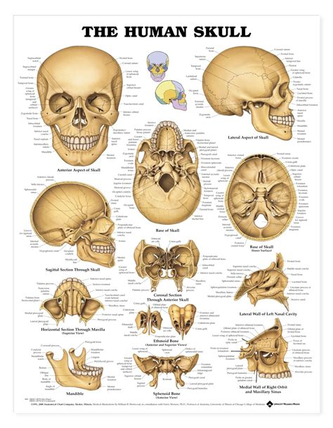 the human skull is divided into what two sections the human skull anatomical chart anatomy models and