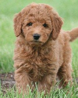 goldendoodle puppy fur goldendoodle miniature and golden retrievers on