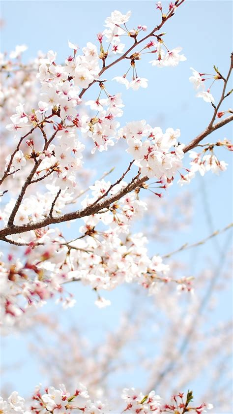 wallpaper for iphone 5 spring 봄 벚꽃 아이폰 배경 화면 640x1136 아이폰 5 5s 5c se 배경 화면 다운 받기