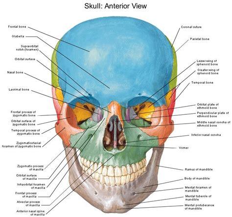skull parts diagram skull diagram diagram site